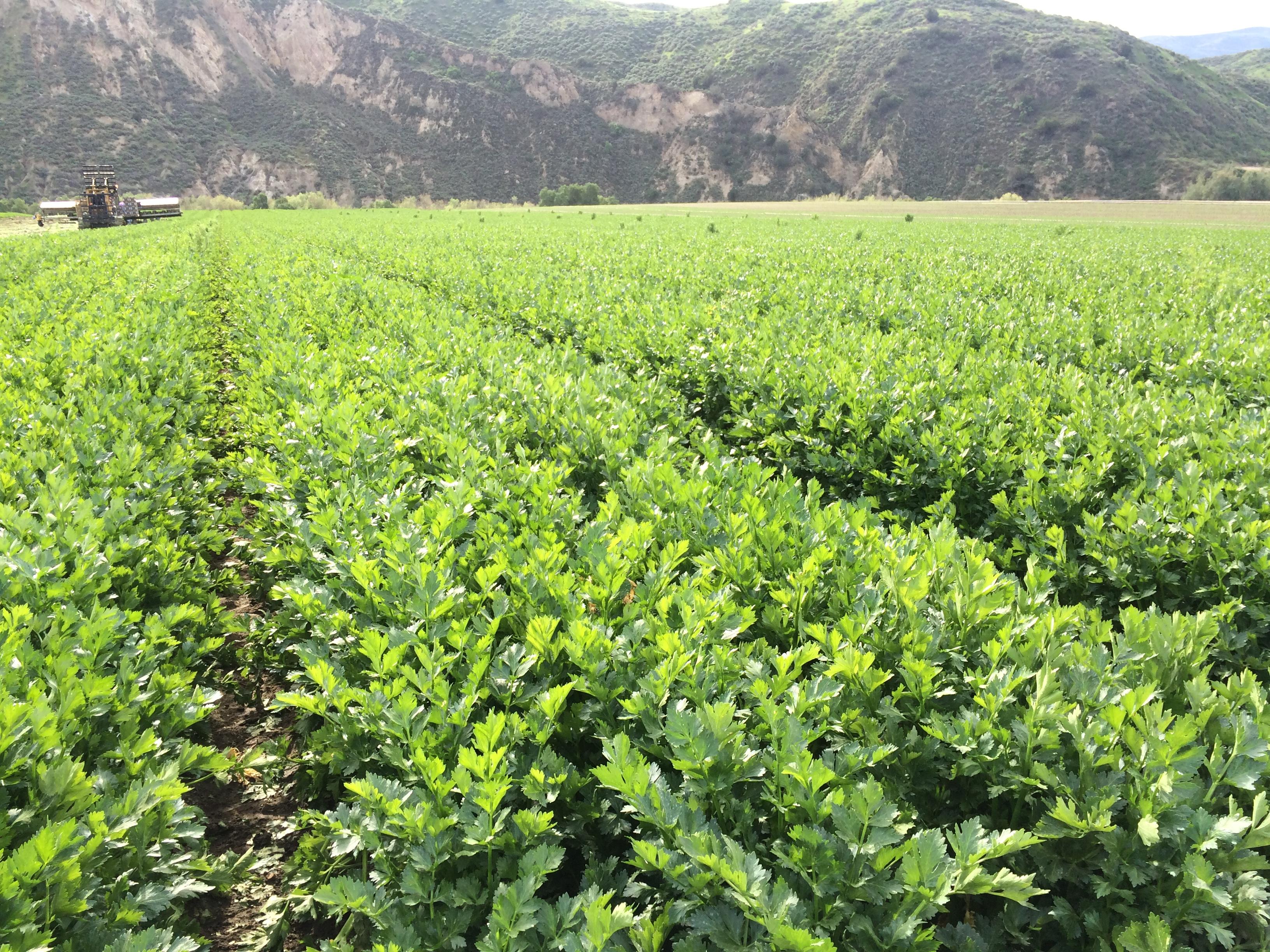 Deardorff Organics celery