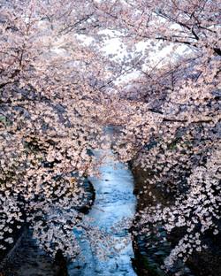 Sakura River