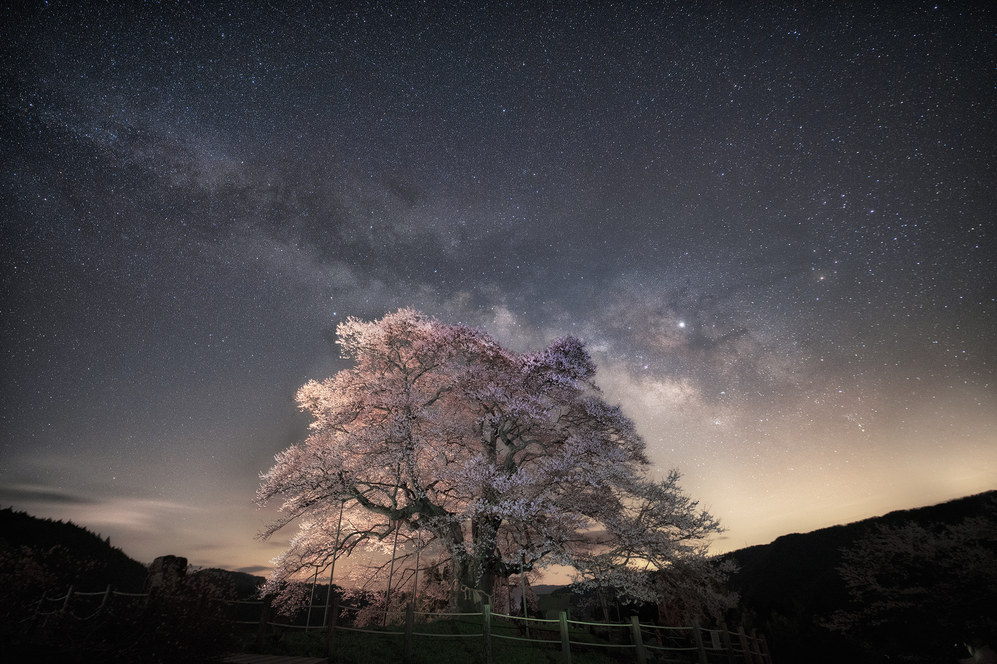 Thousand Years Cherry Blossom