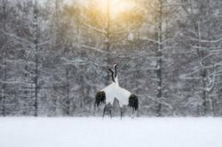 Red-Crested White Crane