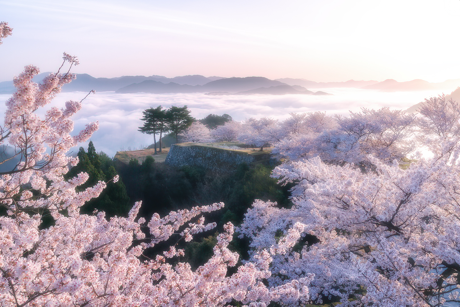 Sakura at Takeda Castle Ruins