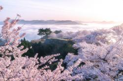 Sakura at Takeda Castle Ruins