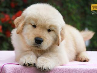 Preparativos para la llegada a casa de un cachorro Golden Retriever