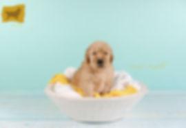 Puppy boy Yellow3.jpg
