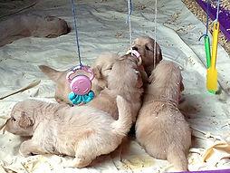 cachorros golden retriever venta