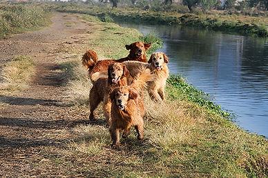 golden retriever cachorros venta