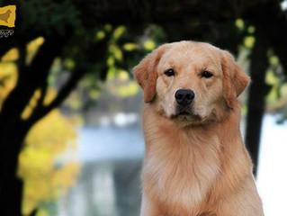 Antes de comprar un cachorro Golden Retriever