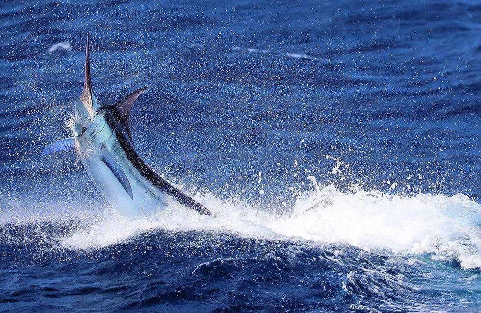 Blue-Marlin.jpeg