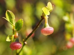 ビルベリーの花