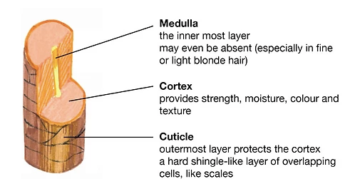 Image of Cross-Section of Hair Strand: Medulla, Cortex, Cuticle