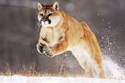 Puma-Running-Wild-Animal-de-La-Naturalez