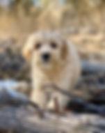 Apricot_Australian_Labradoodle_puppy.jpe