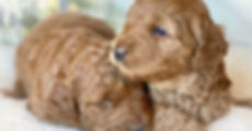 Australian_Labradoodle_puppies_for_sale_
