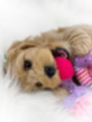Cream_Australian_Labradoodle_puppy.jpg