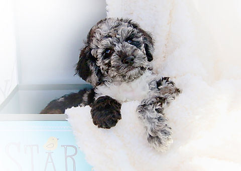 Merle_Austrlian_Labradoodle_puppy_for_sa