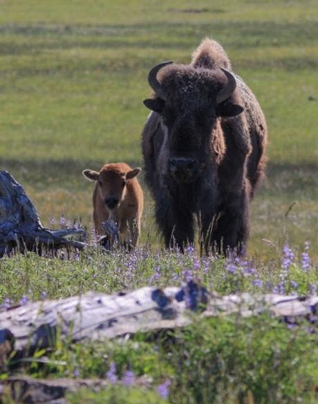 Bison Yellowstone National Park Montana