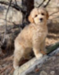 Cream_Australian_Labradoodle_Puppy_MT.jp