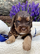 Puppy_Chocolate_Phantom_Tri_Australian_L