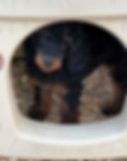 Phantom_poodle_puppy.jpeg