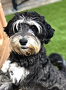Phantom_Australian_Labradoodle_Available