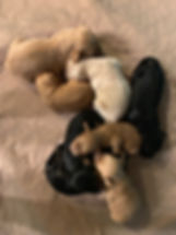 Labradoodle_puppies_for_sale_montana.jpe