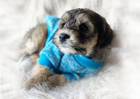 sable_Austrlian_Labradoodle_puppy_for_sa