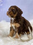 Puppies_Chocolate_Phantom_Tri_Australian
