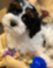 tricolor_Cockapoo_pup.jpeg