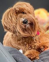 Red_Australian_Labradoodle_Montana_Puppy