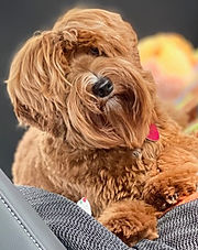 Red_Australian_Labradoodle_Montana_Puppy