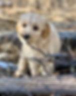 Cream_ALD_Breeding_Dog.jpeg
