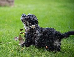 Australian_Labradoodle_Merle_puppies_MT.