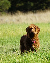 Red_Australian_Labradoodle_Montana_Pups_