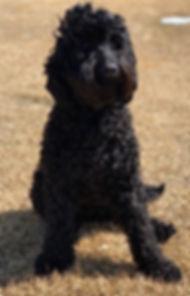 black_Austrlian_Labradoodle_Breeding_Dog