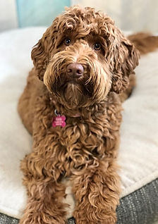 Caramel Red Australian Labradoodle Puppy