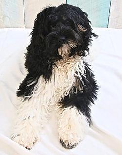 black tricolor Australian Labradoodle Puppy