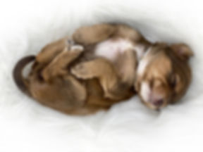 Salbe_Phantom_Austrlain_Labradoodle_Pupp