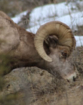 Big Horn Sheep Glacier National Park Montana