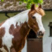 Adopt a Pony - ROZ. Broadlands RDA, Medstead