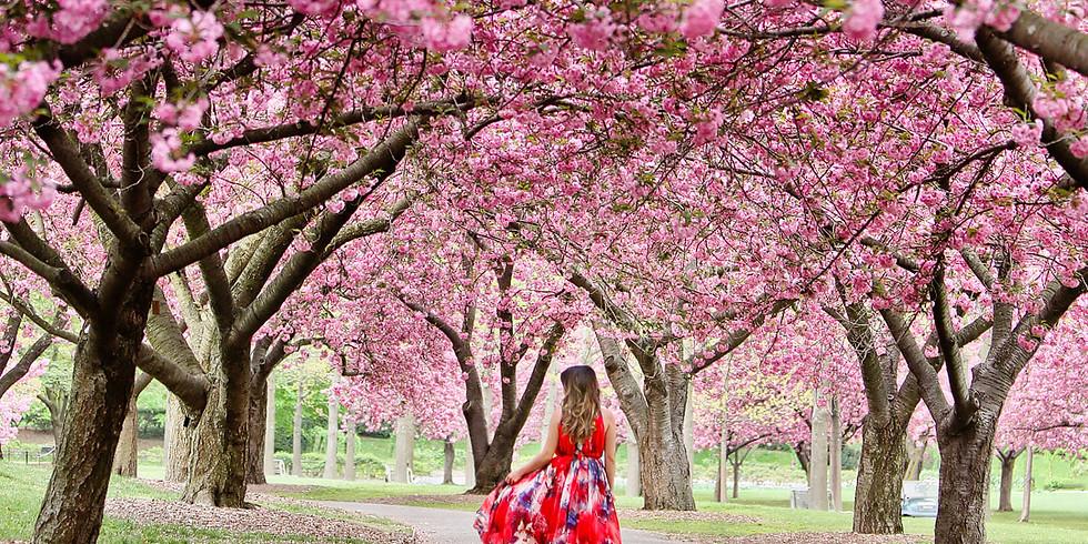 Members - Cherry Blossom Stroll at Brooklyn Botanical Gardens