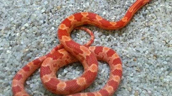 Pantherophis guttata (Albino corn snake)