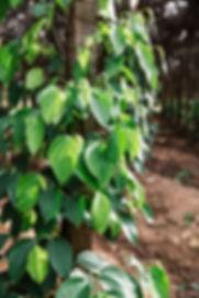 ATELIER KAMPOT PEPER PLANTATION