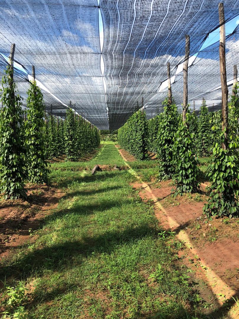 Atelier Kampot Pepper Plantation Cambodia