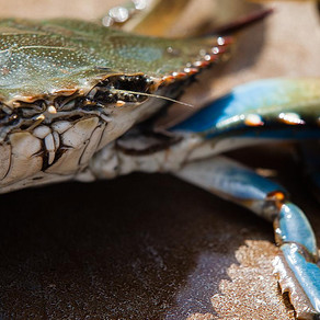 Cover crops please even Chesapeake Bay crabs