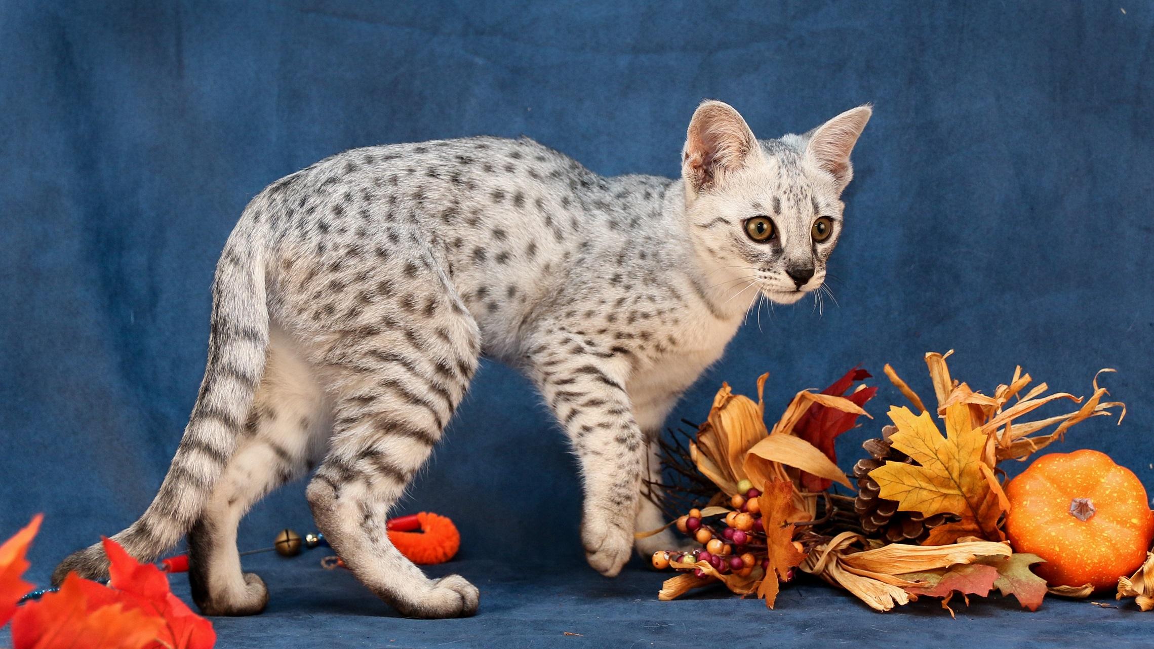 F2 Silver Savannah Kitten