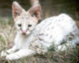 White African Serval Kitten