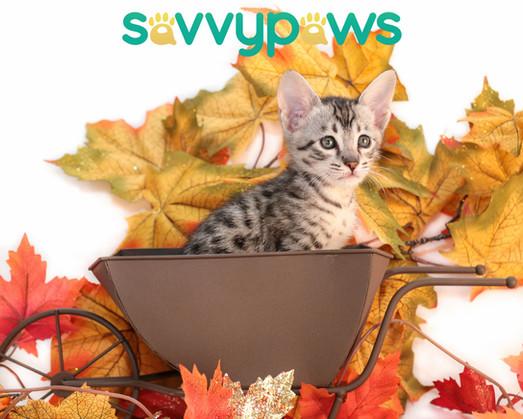 SBT Silver Savannah Kitten