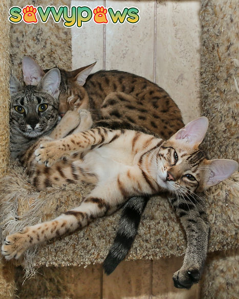 F2, F5, and F6 Savannah Cats in Ontaro, Canada