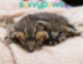 F2 Savannah Kittens in Ontario, Canada