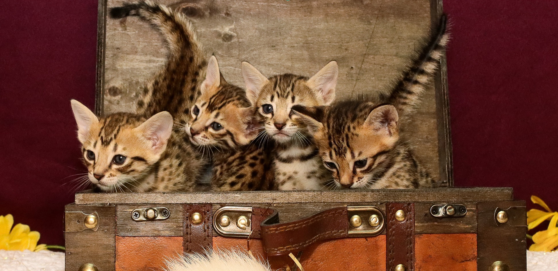 F7 SBT Savannah Kittens